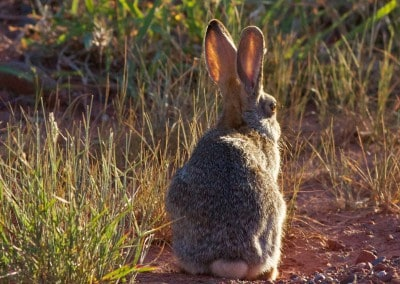 Arizona Sedona Rabbit