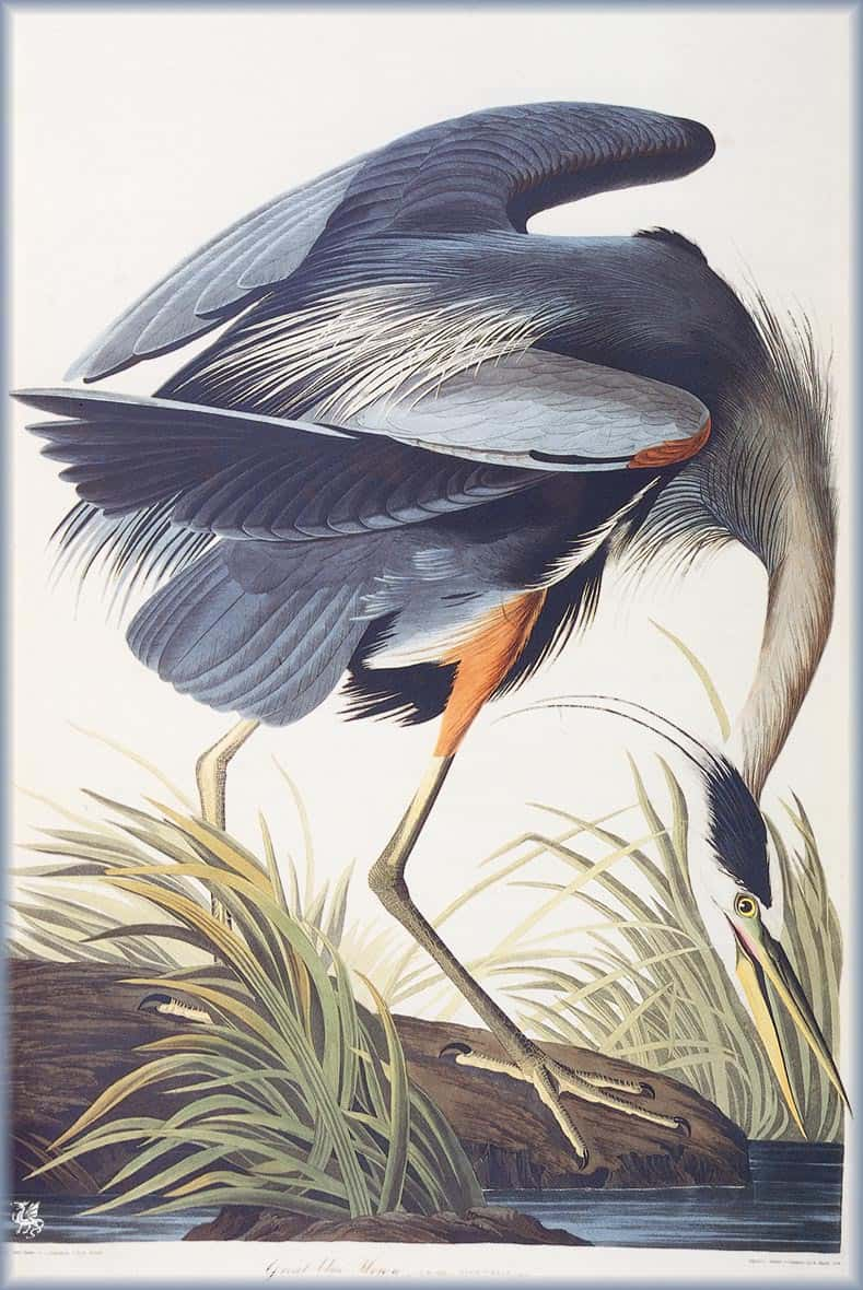 Great Blue Heron, James Audubon (1820s)