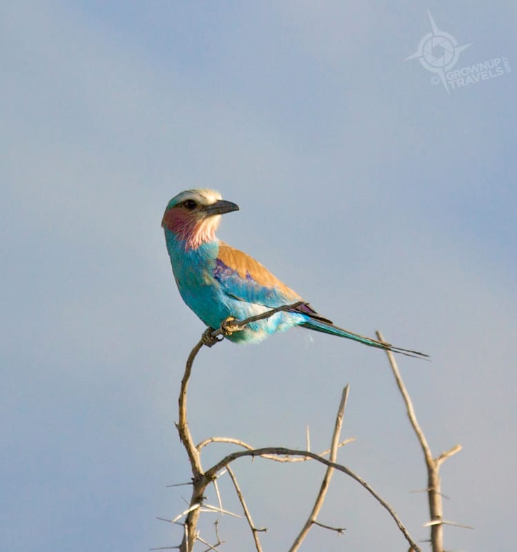 Lilac_breasted roller