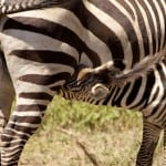 Stripes: not always a good choice in Tanzania