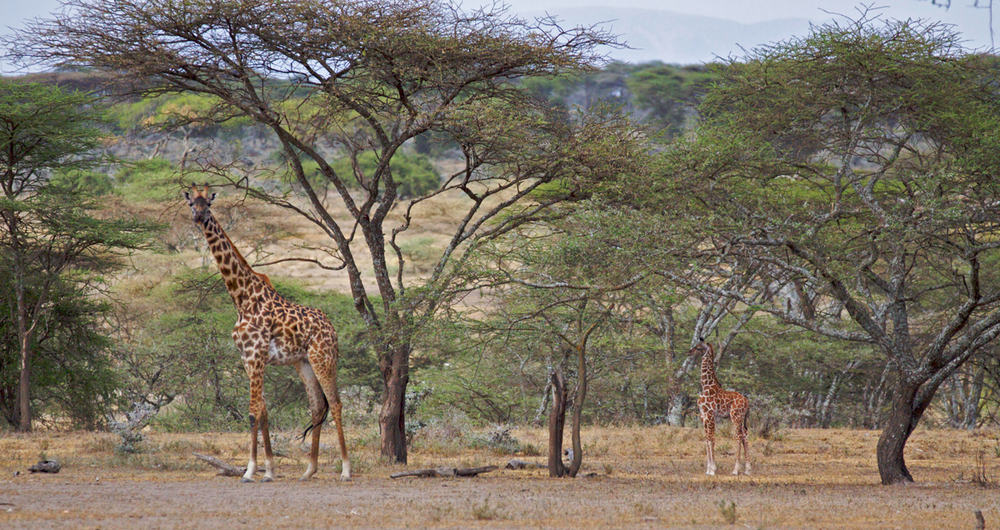 It IS possible to lose a giraffe in the trees! Can you see the baby?
