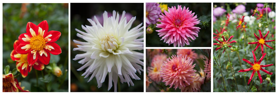 Dahlia Hill displays hundreds of varieties of dahlias on tiered beds you can walk through.