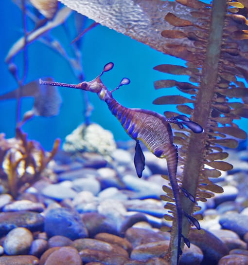 A delicate and beautiful Weedy Sea Dragon.