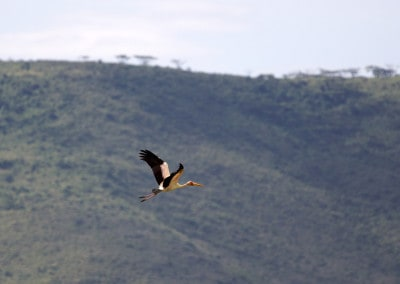Tanzania Yellow Billed Crane in flight Ngorongoro Crater