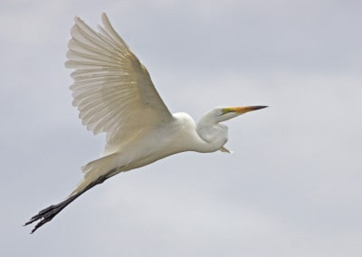 Tanzania White Crane in flight
