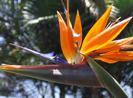Costa rica bird of paradise