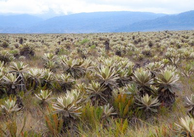 Fraijelones plants in Colombian mountain plateau