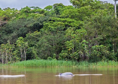 Colombia - Amazon Grey Dolphin