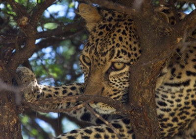 Tanzania Leopard in tree closeup
