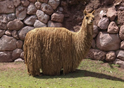 long-haired llama Peru