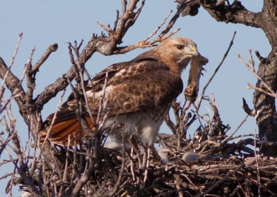 Red tailed hawk with mouse in beak on nest