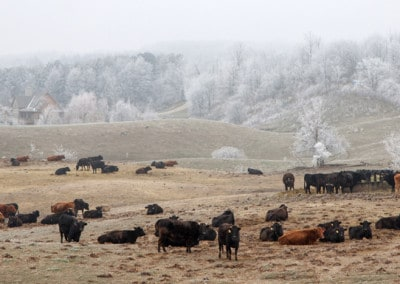 Ontario Hoar frost & cows