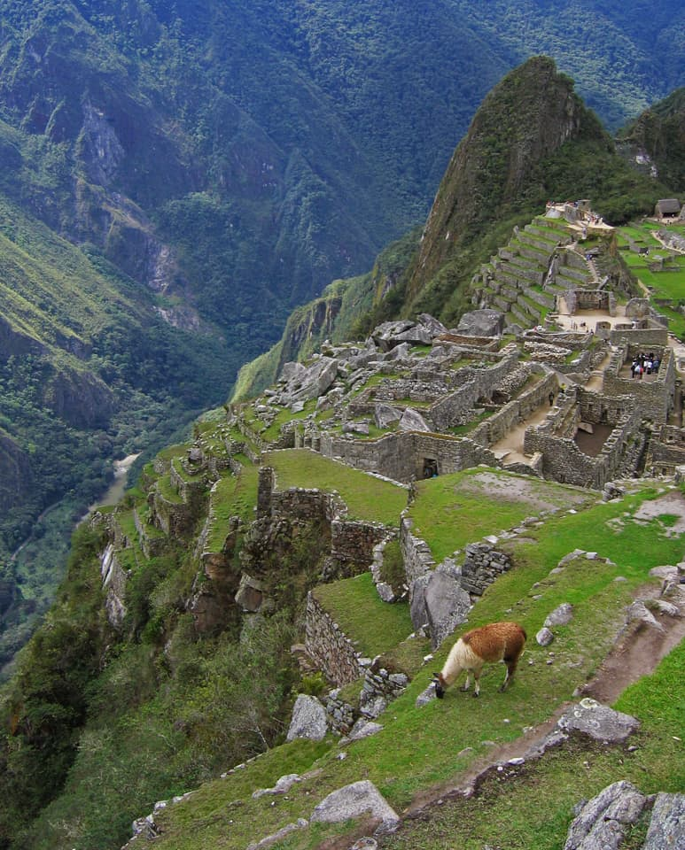 llama gracing on Machu Picchu terrace Peru