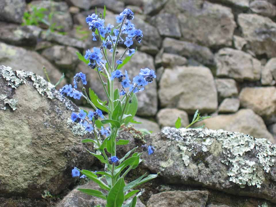closeup blue flowers on stones Machu Picchu Peru