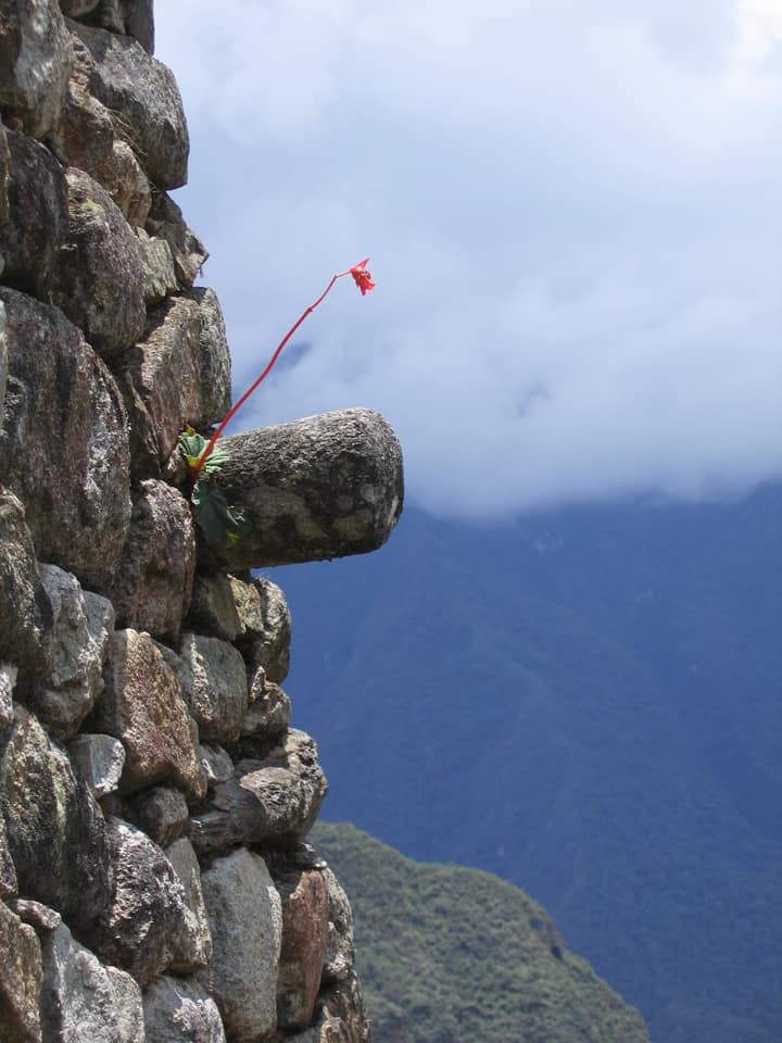 bromeliad stem on stone house Machu Picchu Peru