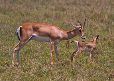 Tanzania Grants Gazelle and baby