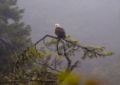 Maritimes NB Fundy Trail Bald Eagle