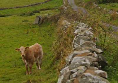 Cow and stone walls leading to tower near Cliffs of Moher Ireland