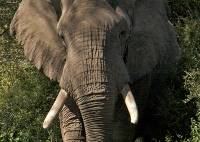 Tanzania elephant wit tusks walking towards camera