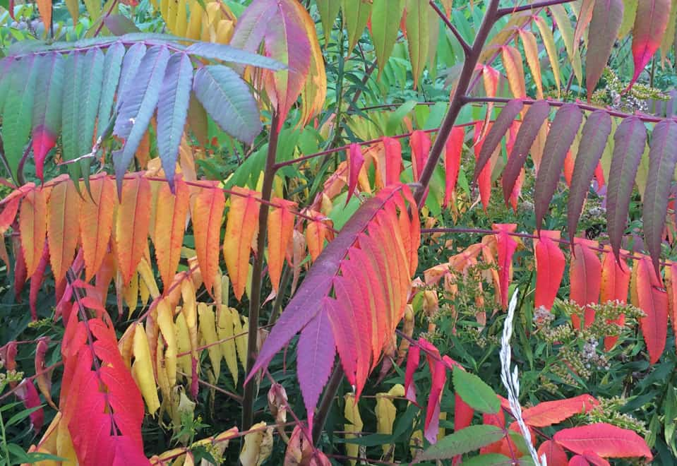 ON Sumac colours at Hilton Falls