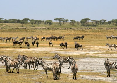 Tanzania zebras and wildebeest at The Marsh