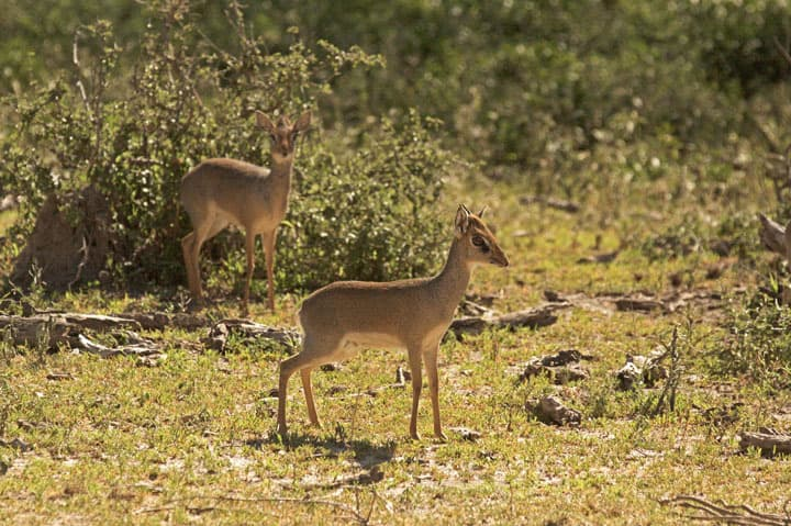 If you see one Dikdik, look for another.