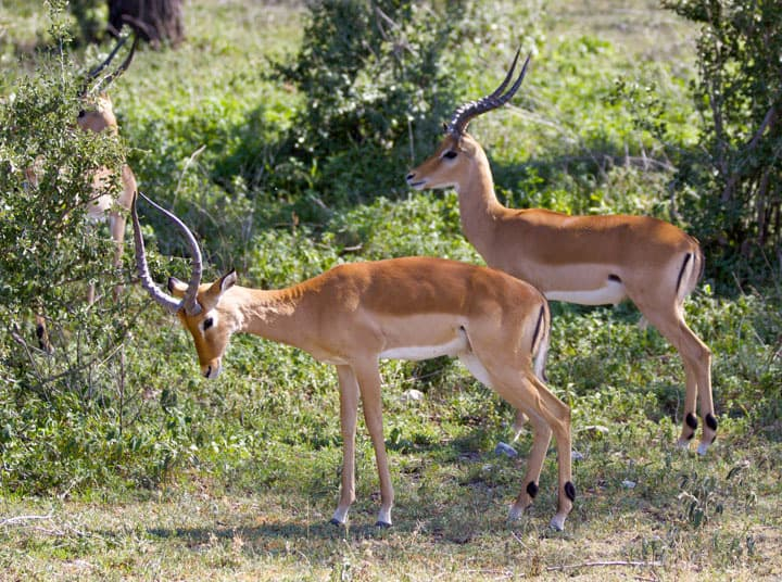 Male Impalas hanging out looking good for the ladies