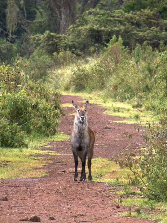 This waterbuck was a little skittish, but we managed to snap this shot before she bolted.