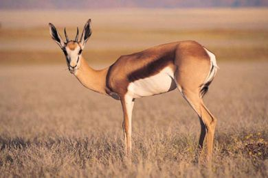 Young Springbok has similar horns and markings to the Thomson Gazelle
