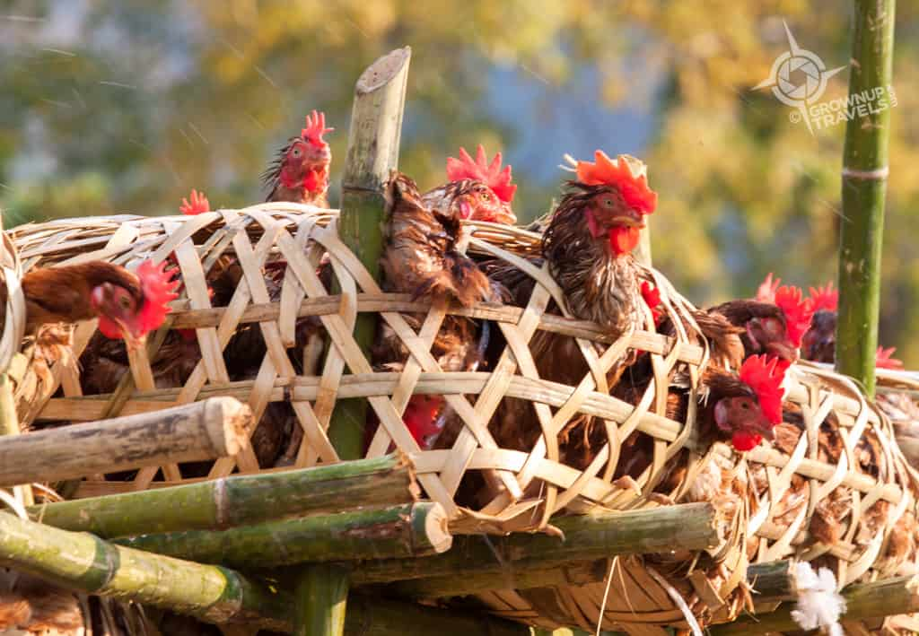 chickens en route to market