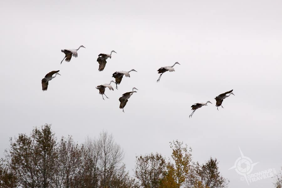 Sandhill cranes lower their 'landing gear' when they are coming down to earth