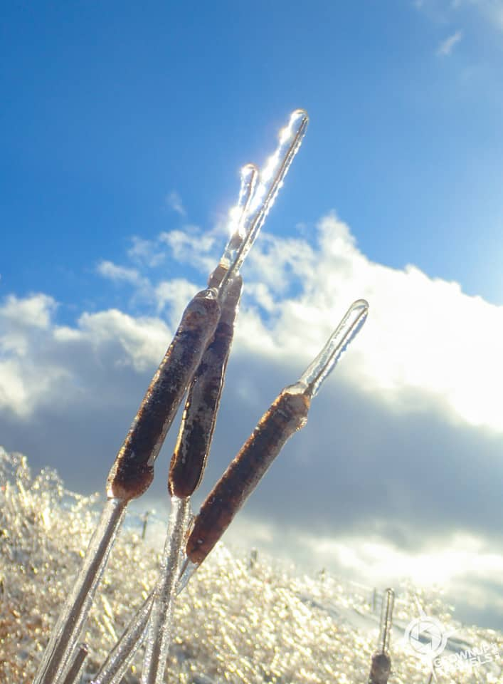 Viamede frozen bullrushes