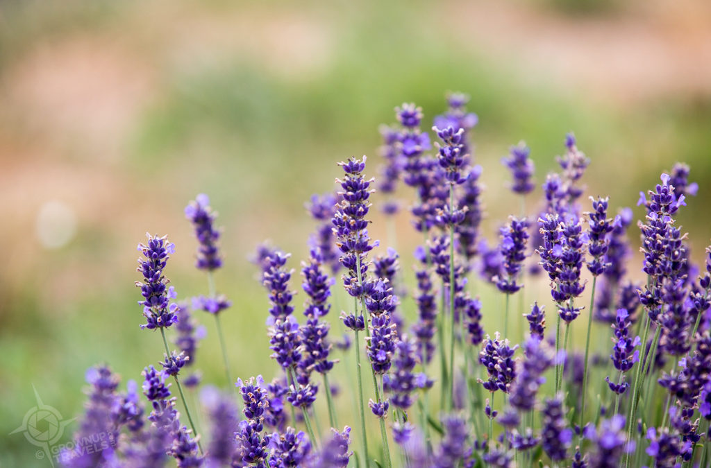 De-Stress at Terre Bleu Lavender Farm