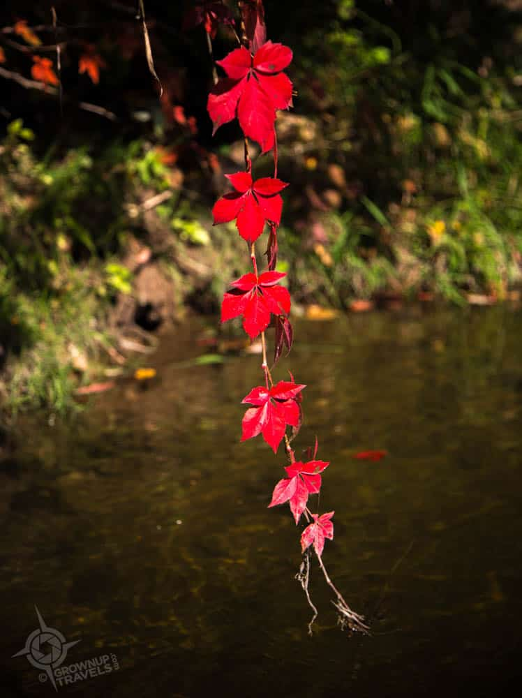 dripping red leaves