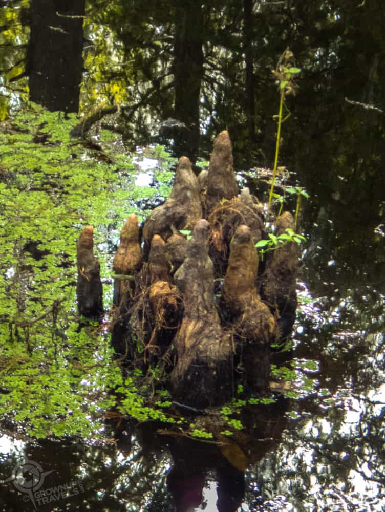 Cypress knees at Wild Florida