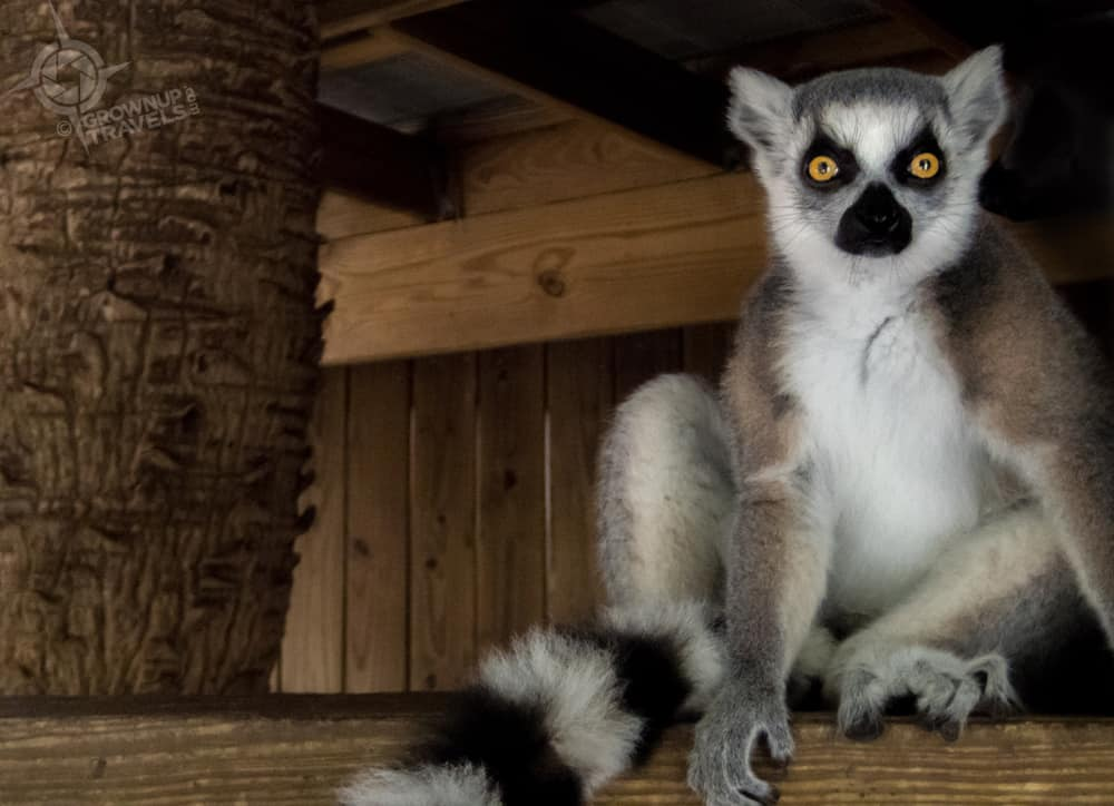 Lemur posing at Wild Florida