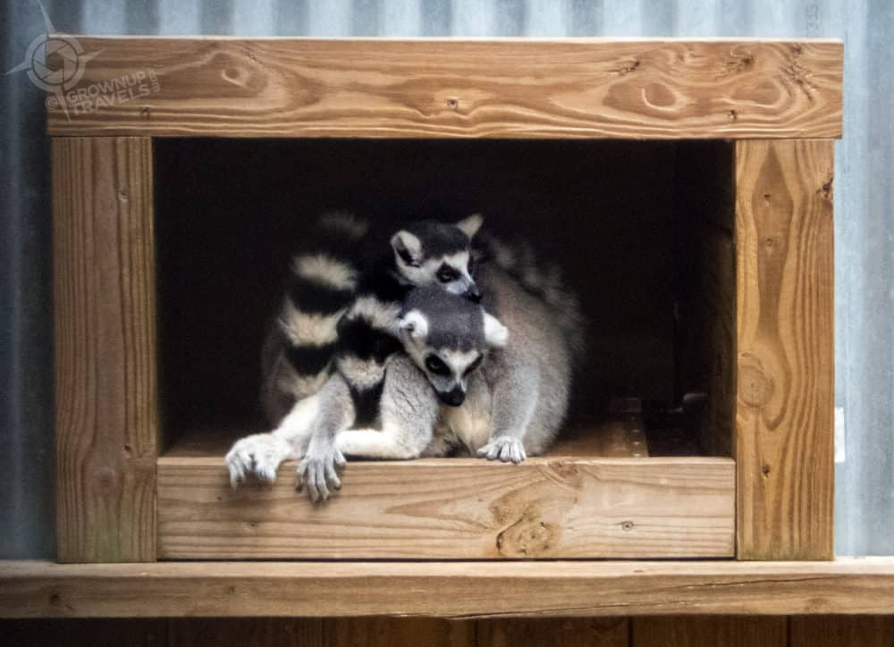 Playful lemurs at Wild Florida