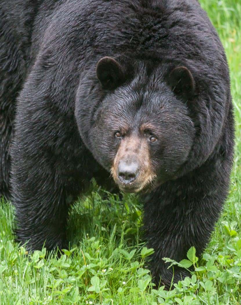 ParcOmega Black bear