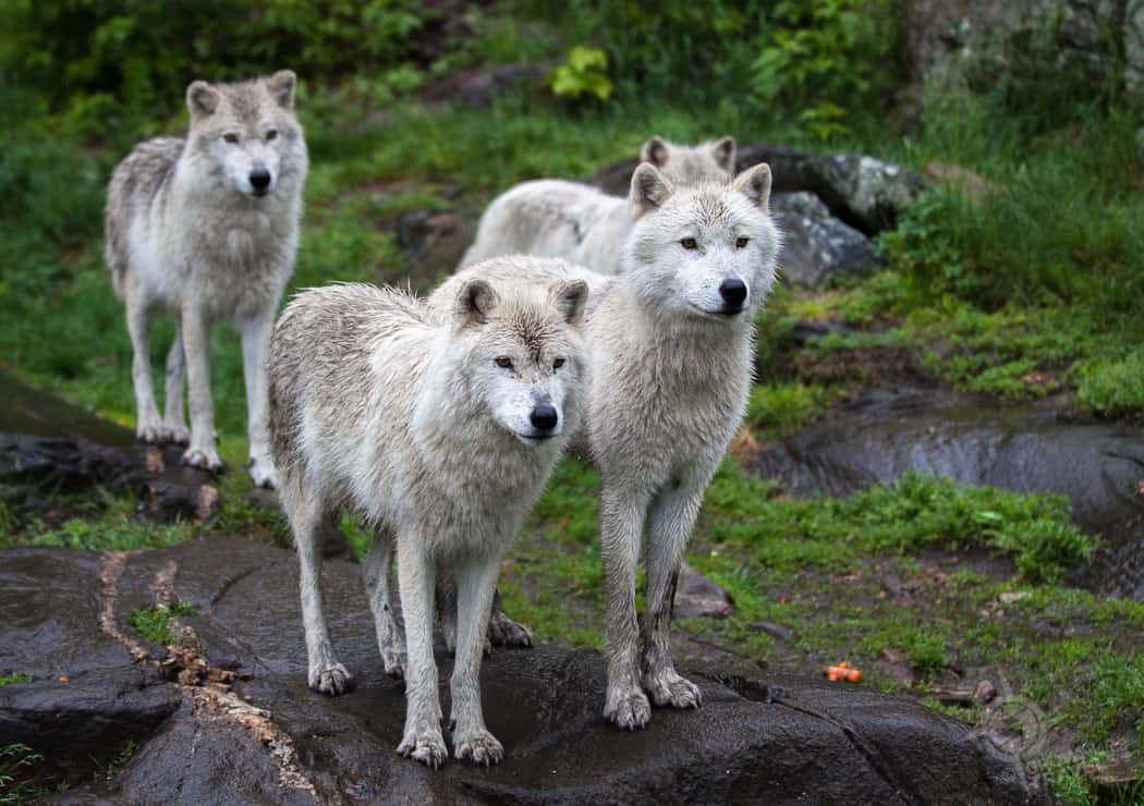 ParcOmega Grey Wolf Pack
