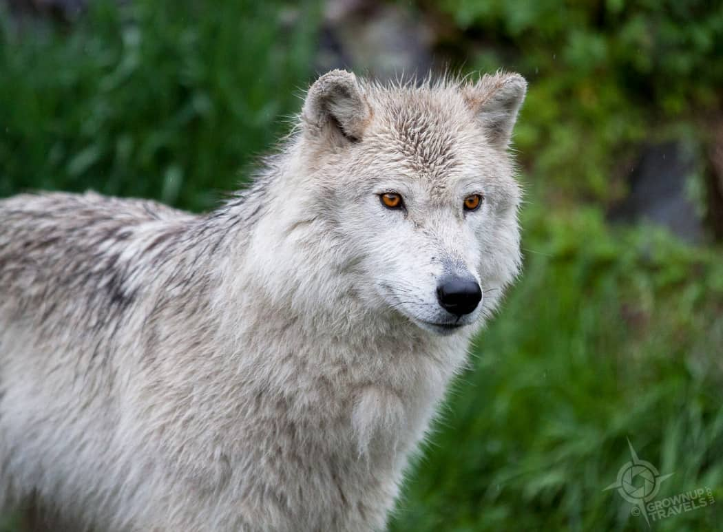 ParcOmega Grey Wolf
