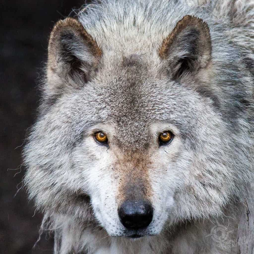 ParcOmega Timber Wolf closeup