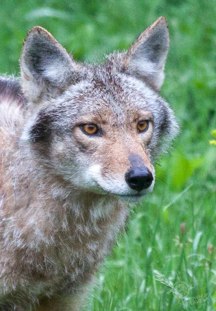 ParcOmega coyote closeup