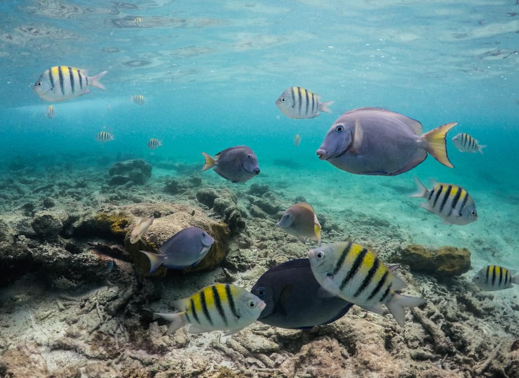 Tangs and angelfish at Grand Oasis Tulum