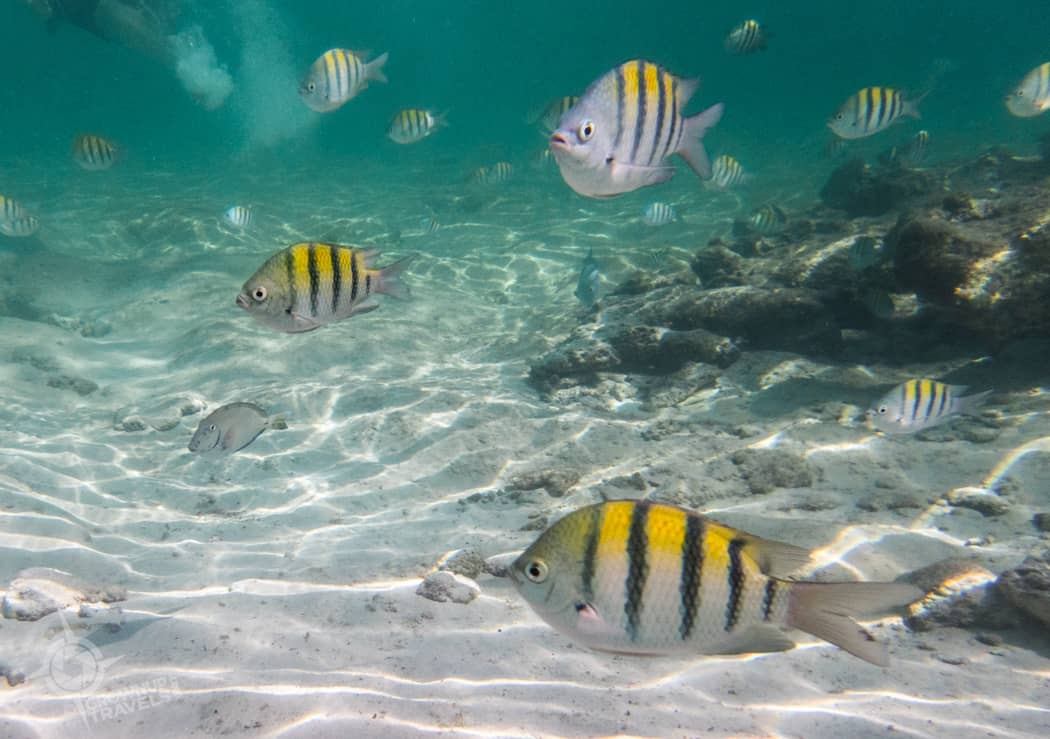 Yellow angel fish at Grand oasis Tulum