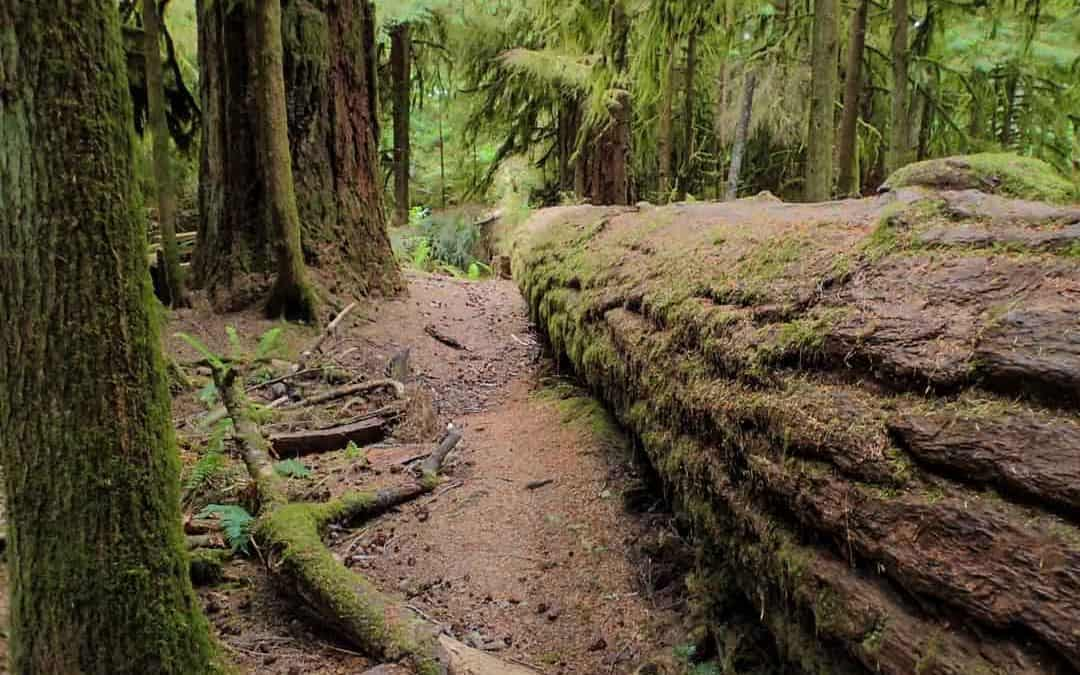 Where to Find the Most Beautiful Old Growth Forests on Vancouver Island