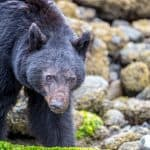 Bear Watching in Tofino with Clayoquot Wild