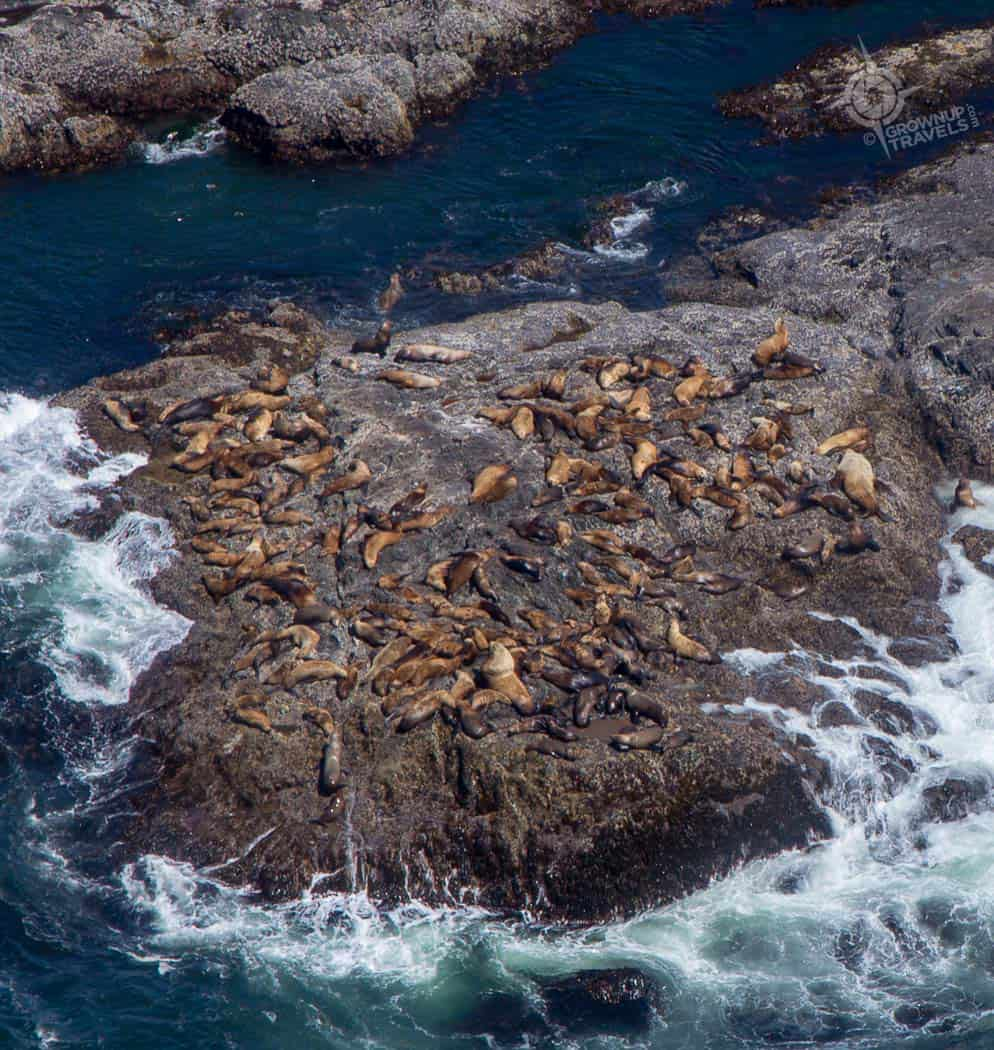 Close up of Sea lion aerial view Tofino