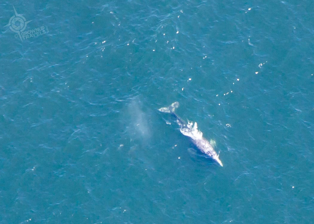 Grey whale at Tofino from the air