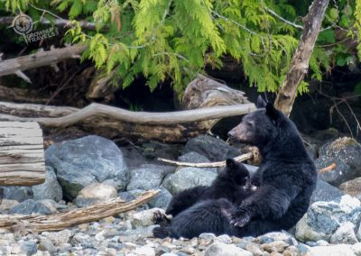 Mother bear nursing 2 cubs near Tofino
