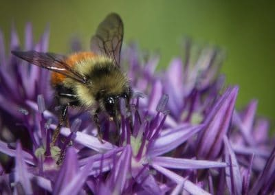 Bee on Allium flower Stanley Park Vancouver